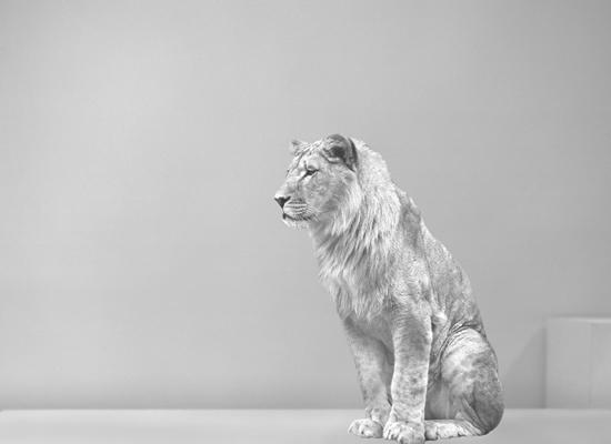 veasey_bev_lion