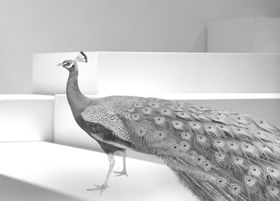 veasey_bev_peacock